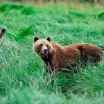 Bears in the Sedge Grass