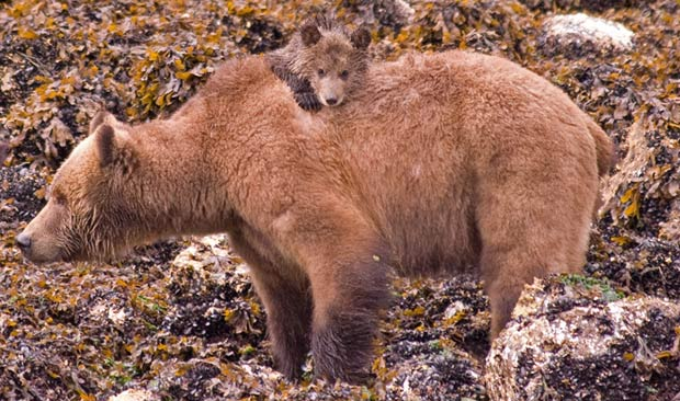 A grizzly bear cub peeks over moms back