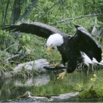 A bald eagle comes down for a landing with a fish in its talons