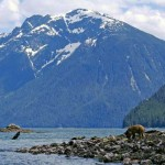 Grizzly Bears emerge from hibernation at Knight Inlet