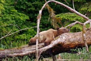 A grizzly takes a nap on a log