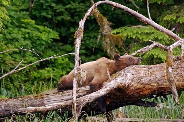 A grizzly bear takes a nap on a log