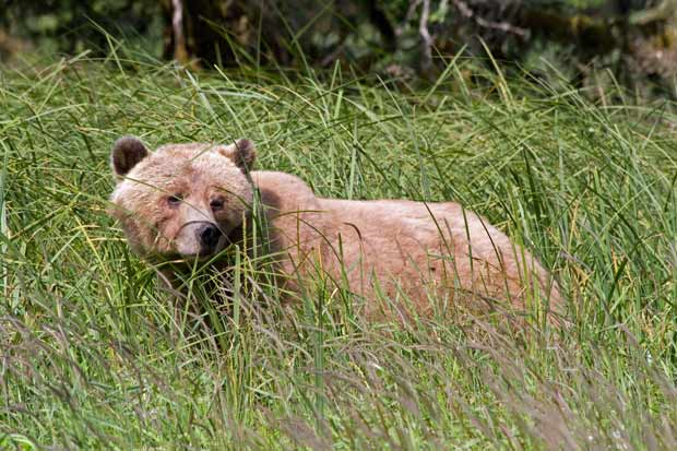 a grizzly bear in the sedge grass