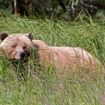 Grizzly bear in sedge grass