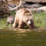 grizzly bear mother and cub at the water edge
