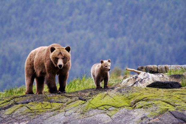 A grizzly bear mother and cub walking across the mossy rocks