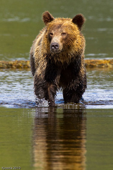 A grizzly bear runs through shallow water in Telegraph Cove