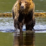 Telegraph cove grizzly bear in the water