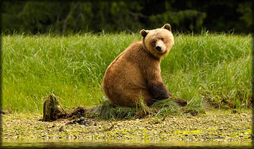 A big grizzly turns its head to look behind