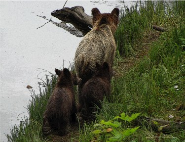 Grizzly Bear with Cubs - Photo by DarylDancerWade.com