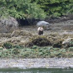 Grizzly Mom island intertidal feed