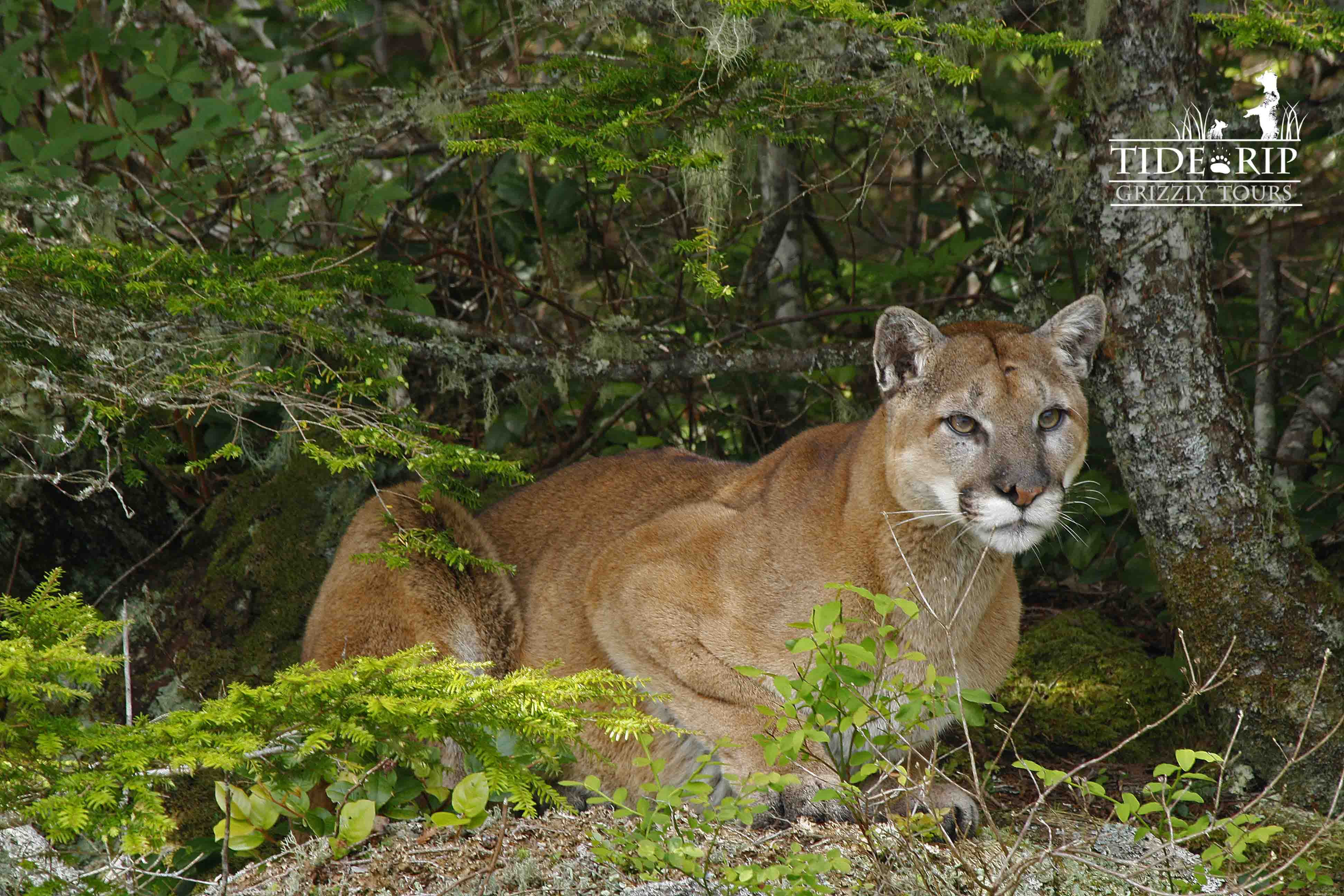 Cougar perched on a bluff near the cove. photo Lindsey