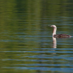 Red-throated loon.